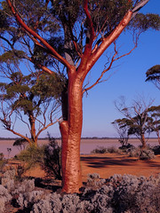 Golden (bigbirdma) Tags: magestic holidays salmongum westernaustralia lakejohnson golden tree