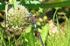 sunbathing dragonfly (dr.larsbergmann) Tags: thebeautyofnature nahaufnahme dragonflies dragonfly insect insekten insects eos ef100400mmf4556lisiiusm nature natur naturemasterclass natureandnothingelse fantasticnature greatphotographers photography photo flickr