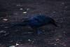 A42P0320lr (yoshitoshi ABe) Tags: 20170706 吉祥寺 井の頭公園 canon eos1dmarkiii ef70300mmf456isusm bird カラス