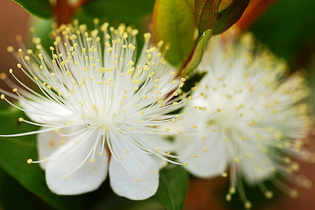 Close-up of two flowers on a myrtle bush