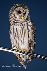 My Friend, the Barred Owl, Was Back Again (MickiP65) Tags: wild usa bird nature birds animal animals night dark evening florida wildlife web flash birding july aves creation owl northamerica fl fowl creatures creature fla birdwatching birder owls animalia levy allrightsreserved 2010 sumner barredowl audubon copyrighted chordata canoneos30d michellepearson websized wildobs mickip mickip65 20100726 07262010 072610 jul262010 img0041403