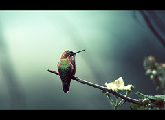 Hummingbird at Rosario Beach III (sparth) Tags: blue flower color bird beach june standing washington branch hummingbird deception pass 300mm rosario curious deceptionpass 2010 300mm28l 600mm rosariobeach oiseaumouche