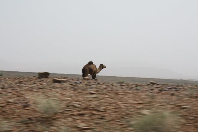 Camello en Erfoud