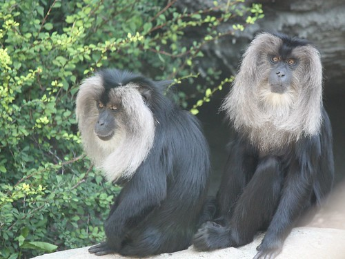 Lion-tailed Macaques