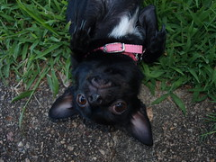 Pixie Ears!!!  Love them!! (LisMB ) Tags: chihuahua love big ears pixie chi those