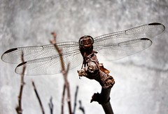 Face to face (Solifree) Tags: nature dragonfly natureza liblula platinumheartaward