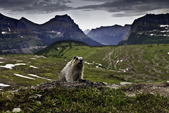 Hoary Marmot says Hi! from Logan Pass, Glacier N.P. (Jeremiah Thompson) Tags: park montana pass glacier national marmot logan jeremiah thompson hoary