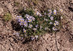 Hayden's Aster (Aster alpingenus haydenii)? (Arboreal Boids) Tags: oregon alpine steens harneycounty steensmountains