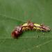Butterfly caterpillar  -  Schmetterlingsraupe