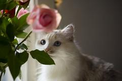Jessie (Casey Fox) Tags: roses sunshine jessie cat canon morninglight kitty canon350d canoneos canonrebelxt 2010