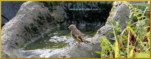 Goldfinch at the Pond Waterfall