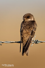 Sand Martin, Riparia riparia, juvenile perched on barbed wire fence. (Nigel Blake, 2 million views Thankyou!) Tags: summer bird history nature birds fence photography wire sand martin natural wildlife migratory perched blake nigel barbed ornithology migrant hirundine riparia