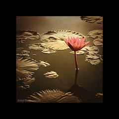 Lotus (Paul Jensen Lara) Tags: lake flower slr water paul photography photo nikon lotus philippines images lara dslr jensen pinoy sampaloc d90 sampalok sanpablocity kodakero