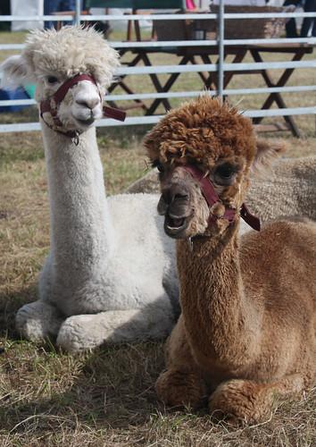 Town End alpacas