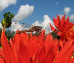 One (langkawi) Tags: dahlia blue red sky macro berlin rot nature dragonfly natur langkawi libelle dahlie naturesfinest britzergarten dahliashow dahlienfeuer
