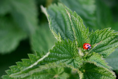 Ladybird & Nettles, Studland Dorset (flatworldsedge) Tags: red england green closeup insect natural polka dot dorset ladybird nettles nationaltrust isle swanage purbeck studland stinging