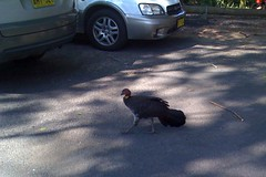 Brush turkey at Pearl Beach