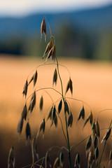 Autumn (stig2010) Tags: autumn norway farm wheat grain farmer