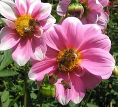 as if there was no tomorrow... (langkawi) Tags: pink dahlia flowers summer fall nature yellow bees insects langkawi nektar blüten bienen naturesfinest britzergarten dahlien buzznbugz dahlienfeuer