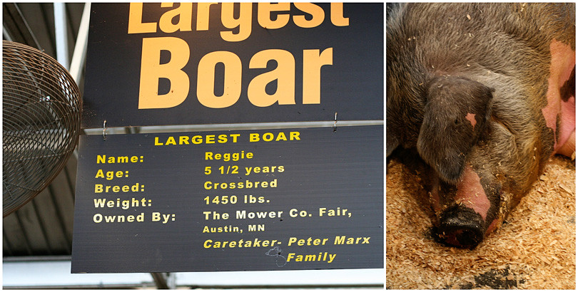 Largest Pig