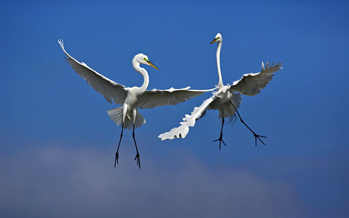 Egrets by Angell Williams, on Flickr