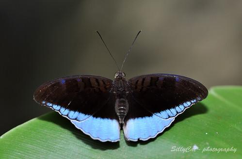 Horsfield's Baron (Tanaecia iapis puseda) |
