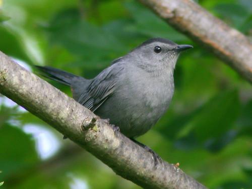 Gray Catbird 20100909