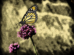Butterflies, butterflies (KatieT12) Tags: pink flowers orange flower yellow butterfly painting purple drawing butterflies monarch purpleflower monarchbutterfly