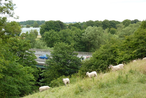 Sheep watch the busy A1