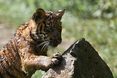 Blijdorp-5699 (Arie van Tilborg) Tags: zoo blijdorp gio hermes alia vanni sumatraansetijger arievantilborg tijgertjes tijgerwelp