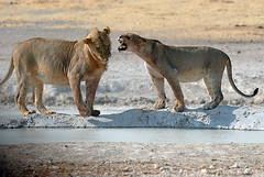 Lioness giving a young lion an earful! Etosha