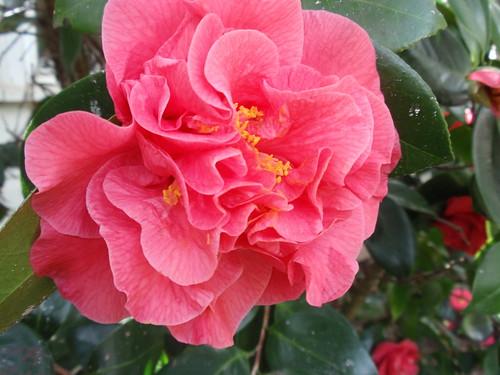 Rouchel gardenia