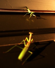 Gunfight at the O.K. Corral (Jason A. Samfield) Tags: light shadow orange sunlight green eye yellow bug mantis insect golden morninglight eyes shadows legs praying leg earlymorning insects bugs highnoon ok antenna prayingmantis showdown antennae goldenhour corral gunfight antennas bugeye bugeyes standoff goldenlight bugeyed earlylight earlymorninglight okcorral yellowhue orangehue prayingmantises