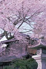 sakura'10-1 (転倒虫) Tags: pink flower nature japan cherry spring kyoto 京都 桜 wa sakura hanami 春 higashiyama 東山 哲学の道