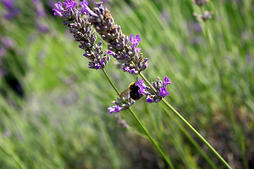 800px-Bee_pollinating_Lavender