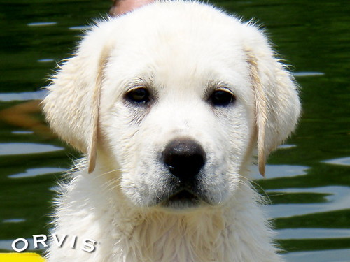 Orvis Cover Dog Contest - Buck