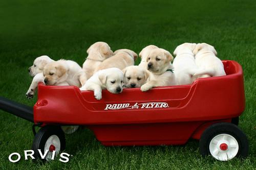 Orvis Cover Dog Contest - Simon