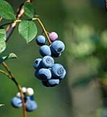 Biloxi blueberries