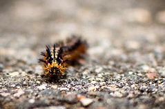 Caterpillar at the Canal Walk (Ty Johnson Photography) Tags: nature 35mm bug insect bokeh outdoor vivid caterpillar d90