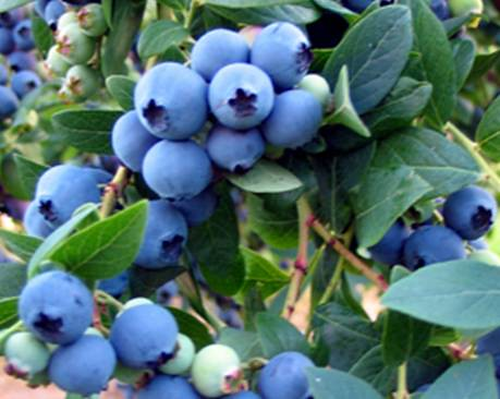 O'Neal blueberries