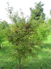 Cornus mas (wallygrom) Tags: england fruits berries westsussex arundel cornelianche