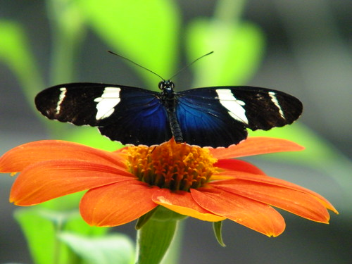 Heliconius Sara Butterfly Pictures