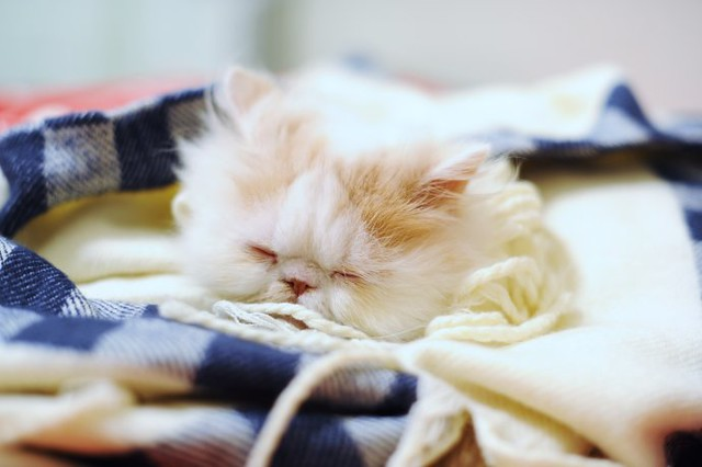 cute kitten sleeping napping pic persian cat
