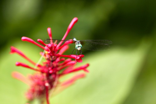 dragonfly on bloom