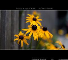 "week32:in voller blüte <a style=""margin-left:10px; font-size:0.8em;"" href=""http://www.flickr.com/photos/42507060@N08/5003351477/"" target=""_blank"">@flickr</a>"