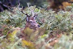 Red Deer Stag - Cervus elaphus (Duncan Eames) Tags: park uk london animal nikon deer reddeer richmondpark 2010 cervus cervuselaphus d80 nikond80 150500