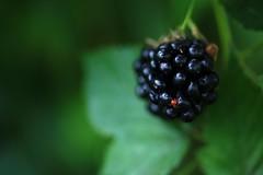 Blackberry & Spider 09/52 (sleepyhead's) Tags: project spider blackberry 9 weeks 52 arachnida rubus araneae fiftytwo 952 rosaceae 52weeks 0952 project52 52weeksproject 9of52 eubatus projectfiftytwo arachnomorpha fiftytwoweeksproject