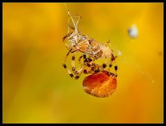Predator (Rantes) Tags: macro nature closeup spider makro macrophotography przyroda pająk zbliżenie olympuse30 pentaconelectric13528