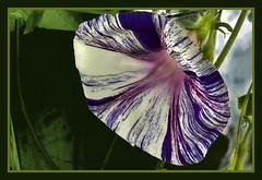 IMG_1490 Ipomoea - Trichterwinde - Prunkwinde  3 (jaro-es) Tags: flowers espaa flower macro nature canon spain flor natura blume makro spanien abigfave spanelsko eos450