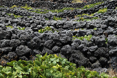 Green is beautiful ! (christing-O-) Tags: vacation black green rock volcano stripes august canarias lapalma canaryislands grape vigne 2010